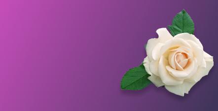 Саджанці троянд  флорибунда Космос