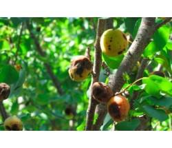 Рятуємо абрикоси від моніліозу