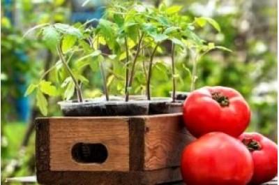 Вирощування розсади помідорів у домашніх умовах