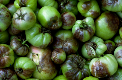 Як боротися з фітофторою на томатах?