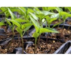 Як виростити розсаду перцю і баклажана