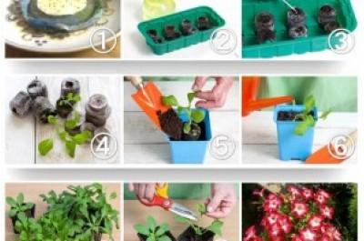 Вирощування петунії в домашніх умовах