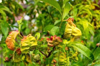 Кучерявість листя персика