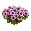 Насіння однорічних квітів