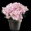 Насіння кімнатних квітів