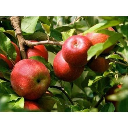 Саджанці яблуні Ерлі Женева