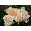 Саджанці троянд флорибунда Космос (Kosmos)