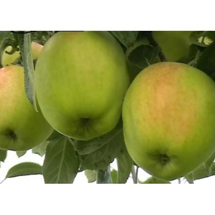 Саджанці яблуні Скіфське Золото