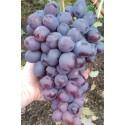 "Саджанець винограду ""Низина"""