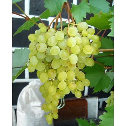 "Саджанець винограду ""Русмол"""