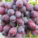 """Саджанець винограду """"Слобожанський"""""""