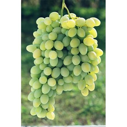 """Саджанець винограду """"Загадка"""""""