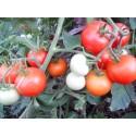 Насіння помідорів низькорослих Яблунька Росії 0.2 г