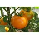 Насіння помідорів високорослих Золота Королева 0.2 г
