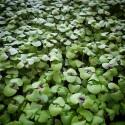 Насіння мікрозелені Базилік зелений, 10 г