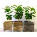 Насіння кавового дерева Арабіка, 1 г